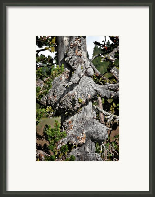 Whitebark Pine Tree - Iconic Endangered Keystone Species Framed Print By Christine Till