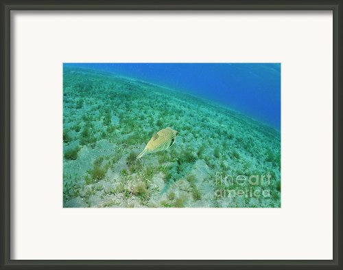 Whitespotted Pufferfish Framed Print By Sami Sarkis