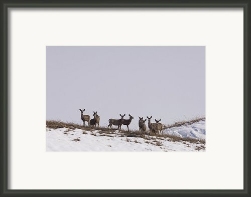 Whitetail Deer In The Snow In Burwell Framed Print By Joel Sartore