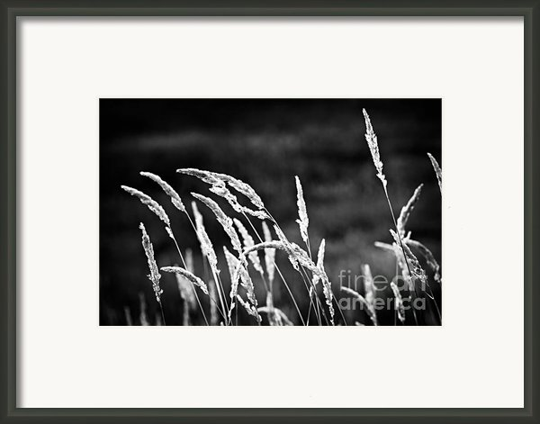 Wild Grass In Black And White Framed Print By Elena Elisseeva