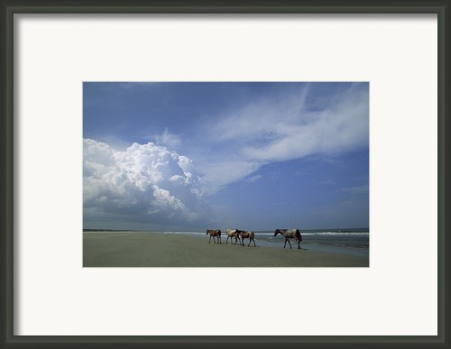Wild Horses Roaming A Georgia Coast Framed Print By Michael Melford