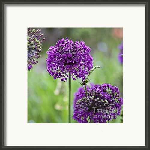 Wild Onion Flower Framed Print By Heiko Koehrer-wagner