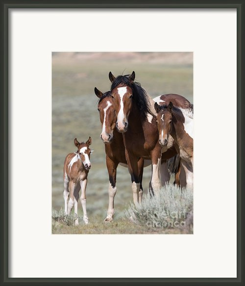 Wild Pinto Family Framed Print By Carol Walker