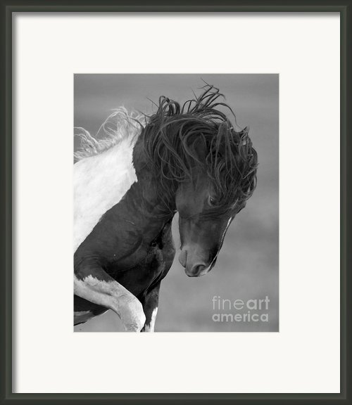 Wild Pinto Stallion Framed Print By Carol Walker