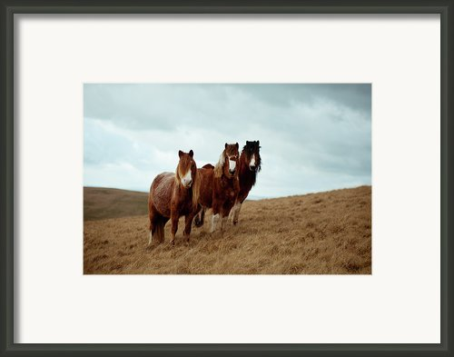 Wild Ponies In Welsh Countryside Framed Print By Polly Thomas