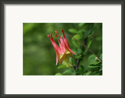 Wild Red Columbine Framed Print By Neal  Eslinger