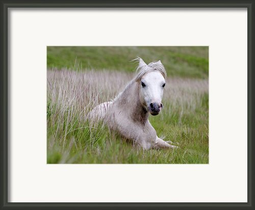 Wild Welsh Pony Framed Print By Steve Hyde