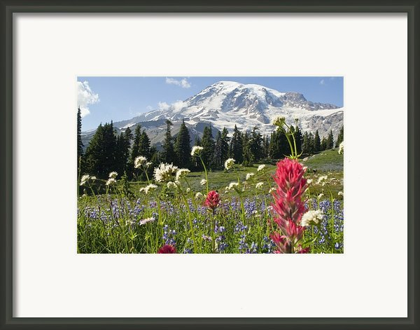Wildflowers In Mount Rainier National Framed Print By Dan Sherwood