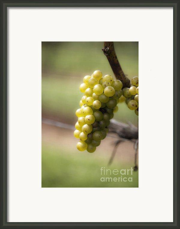 Wine Grapes Framed Print By Leslie Leda