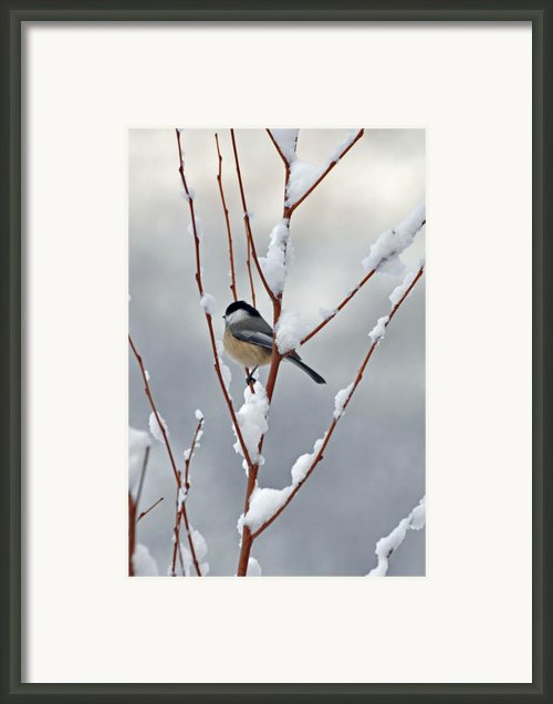 Winter Chickadee Framed Print By Diane E Berry