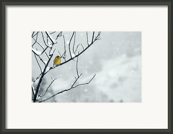 Winter Snow With A Touch Of Goldfinch For Color Framed Print By Laura Mountainspring