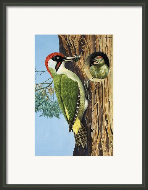 Woodpecker Framed Print By Rb Davis