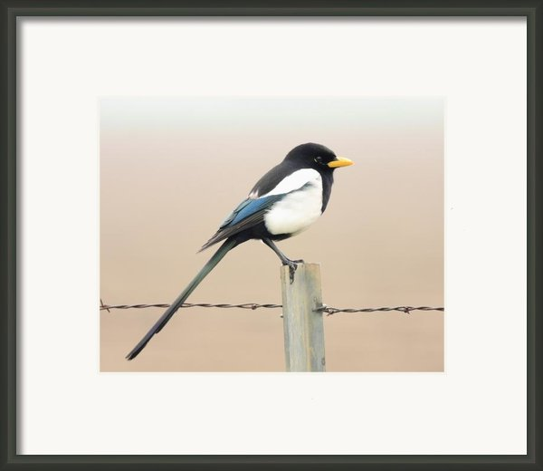 Yellow-billed Magpie Framed Print By Wingsdomain Art And Photography
