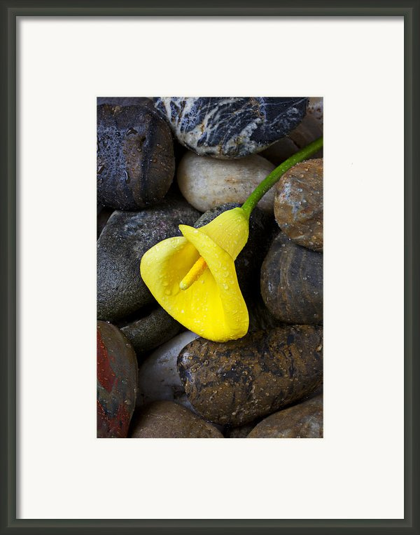 Yellow Calla Lily On Rocks Framed Print By Garry Gay