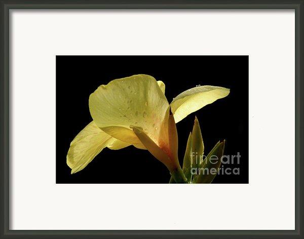 Yellow Canna Framed Print By Jeannie Burleson