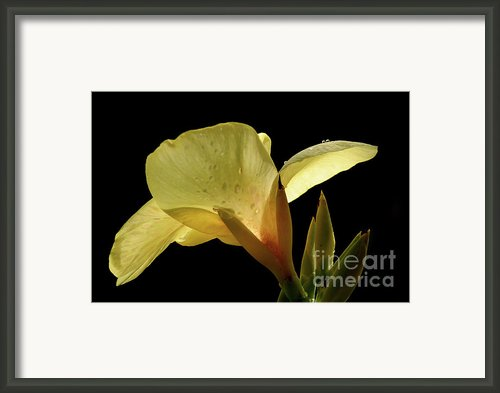 Yellow Canna Framed Print By Jeannie Burleson