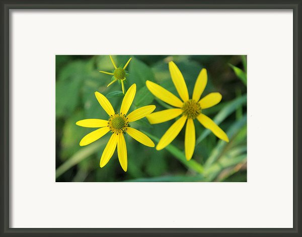 Yellow Coneflower Framed Print By James Hammen