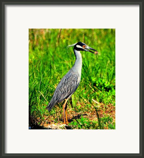 Yellow Crested Night Heron Catches A Fiddler Crab Framed Print By Barbara Bowen