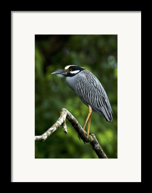 Yellow-crowned Night Heron Framed Print By Jp Lawrence