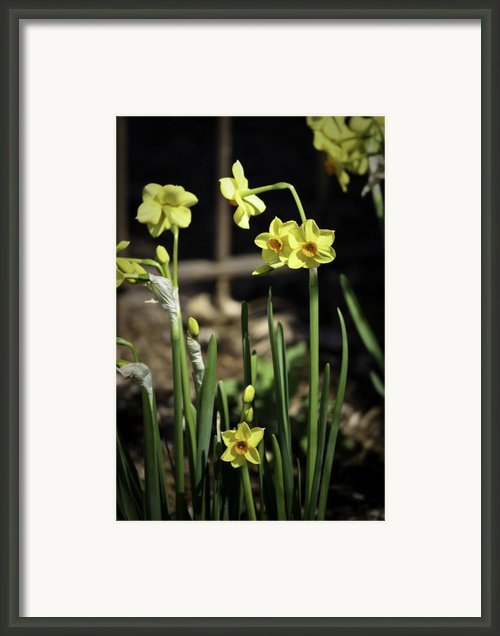 Yellow Daffodils Framed Print By Teresa Mucha