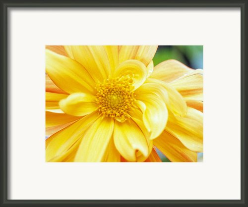 Yellow Dahlia Framed Print By Kathy Yates