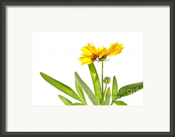 Yellow Daisy Isolated Against White Framed Print By Sandra Cunningham