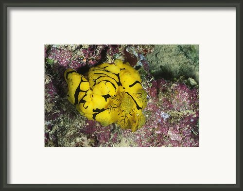 Yellow Nudibranch Or Sea Slug Framed Print By James Forte