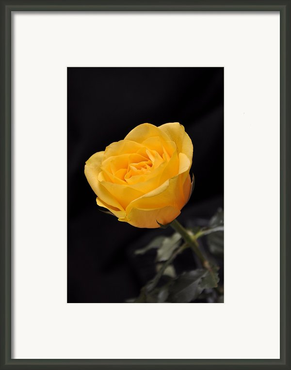 Yellow Rose On Black Background Framed Print By Déco