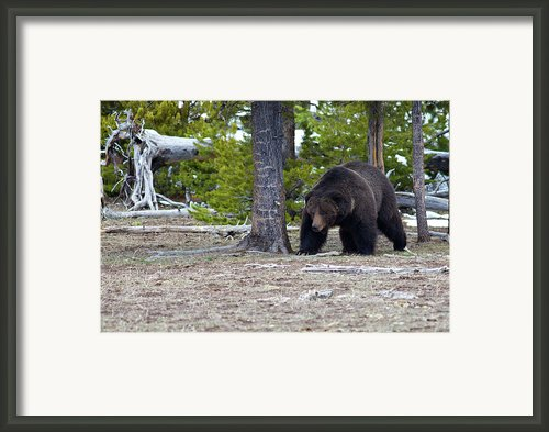 Yellowstone Grizzly, Preacher Framed Print By Photo By Daryl L. Hunter - The Hole Picture
