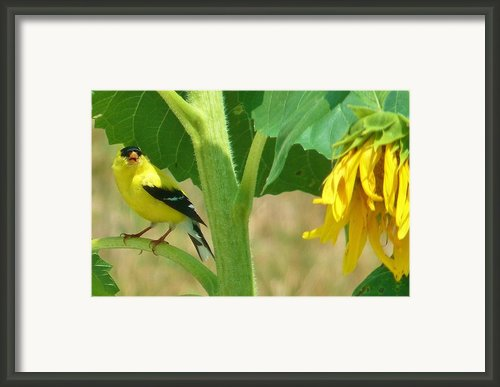Yes A Sunflower Tree Framed Print By Jeanette Oberholtzer