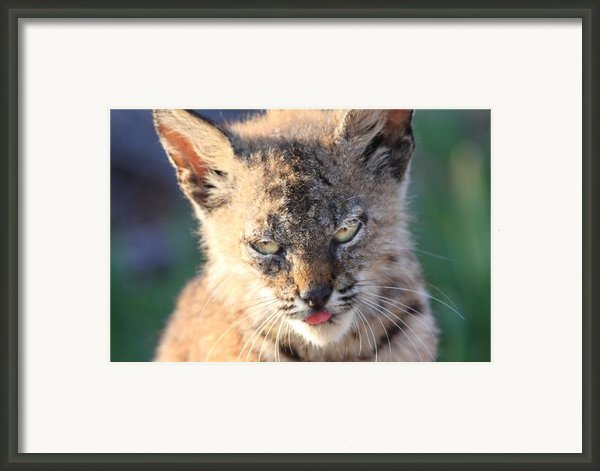 Young Bobcat 04 Framed Print By Wingsdomain Art And Photography