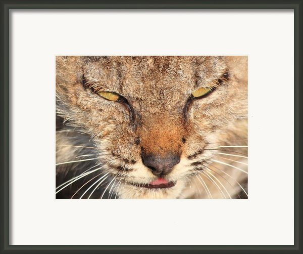 Young Bobcat Portrait 01 Framed Print By Wingsdomain Art And Photography