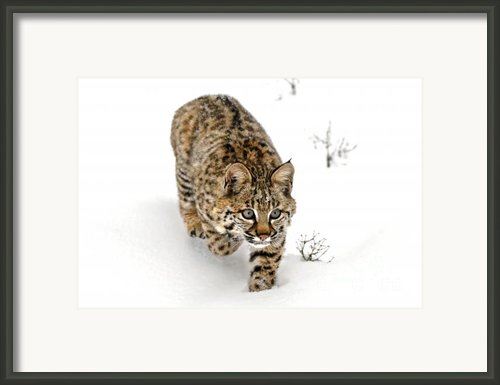 Young Bobcat Stalking Framed Print By Melody And Michael Watson