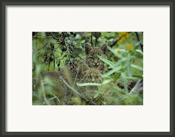 Young Bobcats Framed Print By Michael S. Quinton
