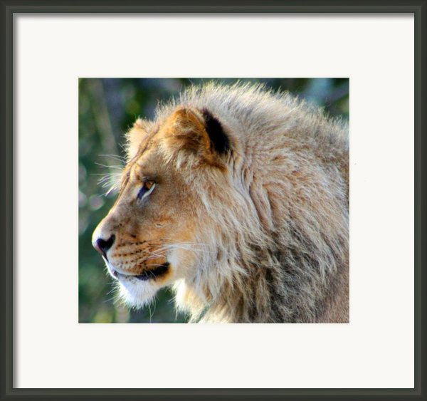Young King Close Up Framed Print By Nick Gustafson