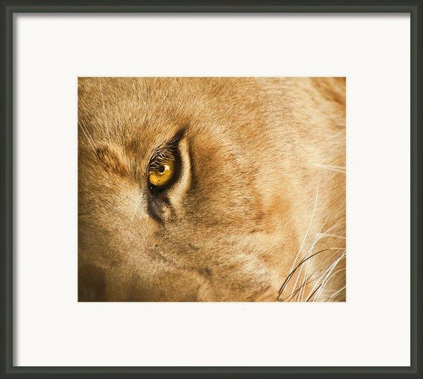 Your Lion Eye Framed Print By Carolyn Marshall