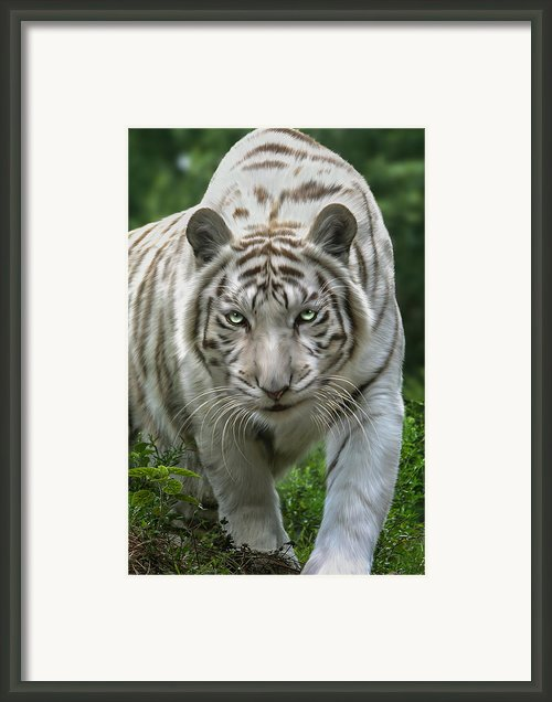 Zabu Framed Print By Big Cat Rescue