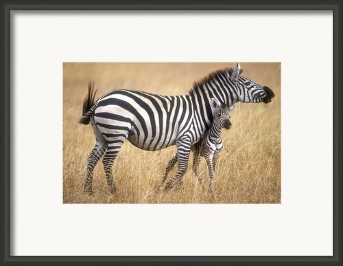 Zebra And Foal Framed Print By Johan Elzenga