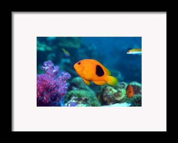 Red Saddleback Anemonefish And Soft Coral Framed Print By Georgette Douwma