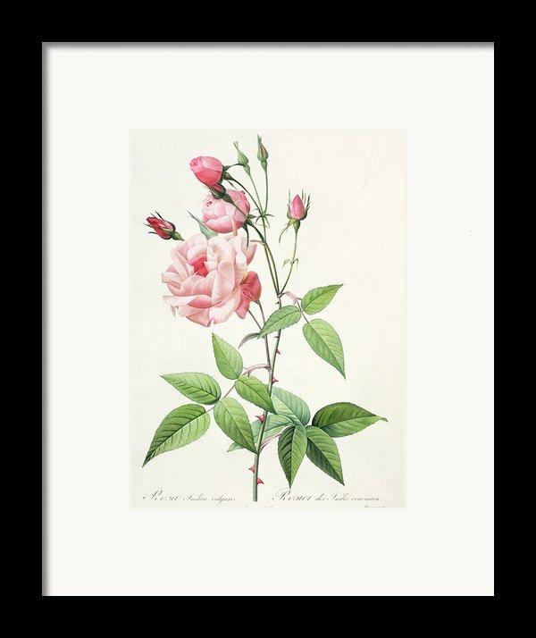 Rosa Indica Vulgaris Framed Print By Pierre Joseph Redoute