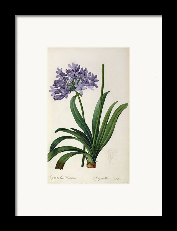 Agapanthus Umbrellatus Framed Print By Pierre Redoute