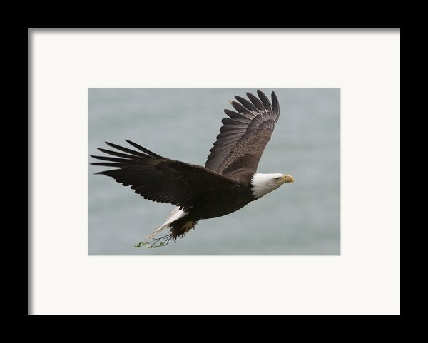 An American Bald Eagle Soaring Framed Print By Roy Toft