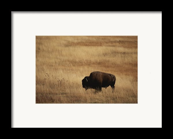 An American Bision In Golden Grassland Framed Print By Michael Melford