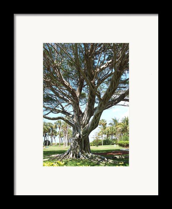 Banyan Tree Framed Print By Anna Villarreal Garbis
