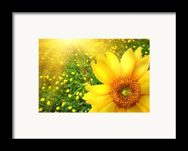 Big Yellow Sunflower  Framed Print By Sandra Cunningham