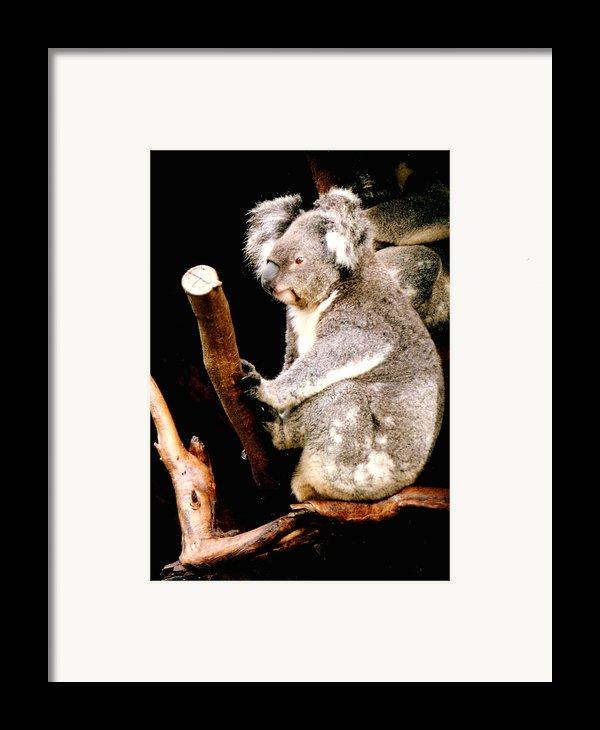 Blue Mountains Koala Framed Print By Darren Stein