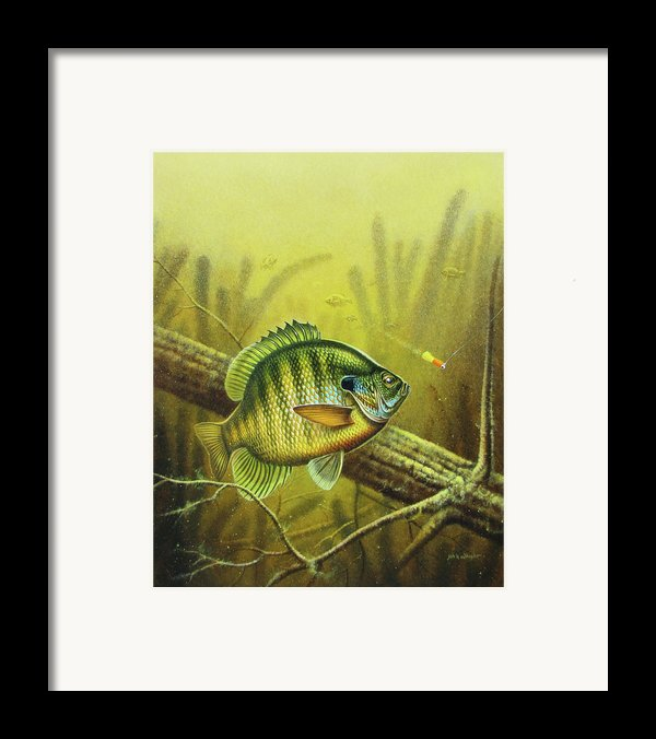 Bluegill And Jig Framed Print By Jq Licensing