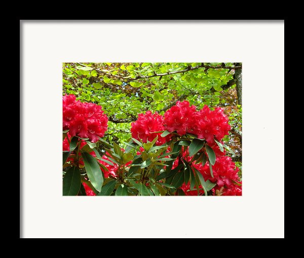 Botanical Garden Art Prints Red Rhodies Trees Baslee Troutman Framed Print By Baslee Troutman