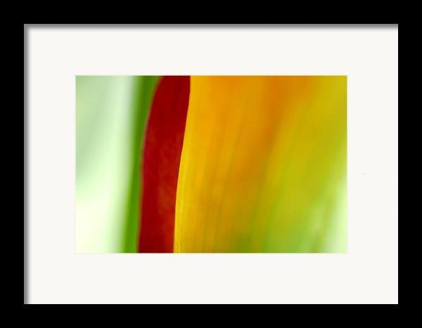 Calla Lily Framed Print By Silke Magino