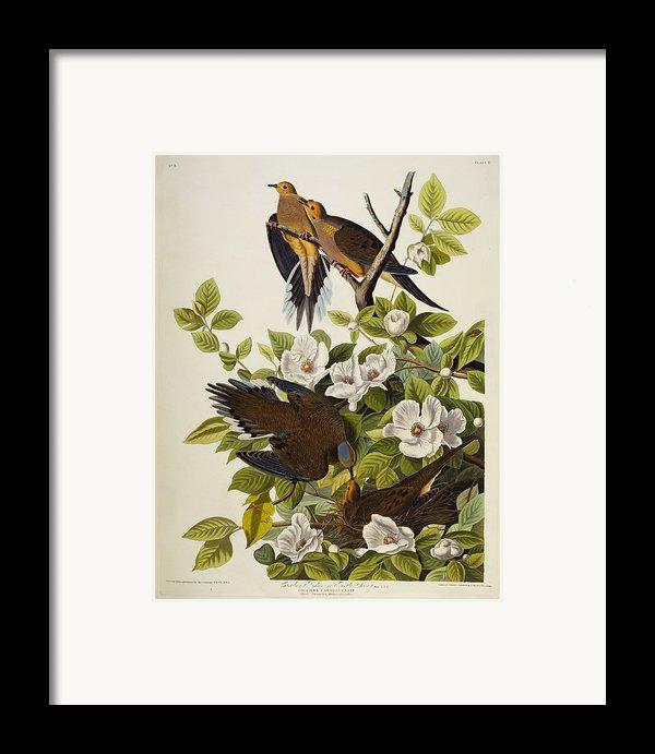 Carolina Turtledove Framed Print By John James Audubon